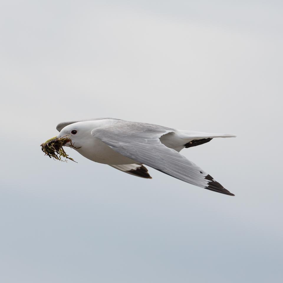 Stormvogel bouwt een nest