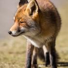 De beroemde vos van de Amsterdamse Waterleidingduinen