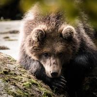 Bruine beer in het berenverblijf