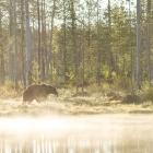 Bruine beer in de vroege morgen - Finland