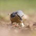 Boomklever - Fotohut Gooi