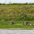 Fotohut Marken - Grauwe ganzenfamilie