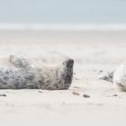 dune2015-zeehondenpups-5078