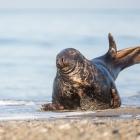 Mannetjes Zeehond op Düne