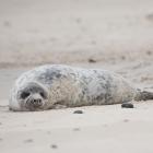 Jonge Zeehond op Düne