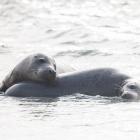 Zeehonden op Düne