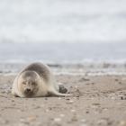 Zeehond op Düne