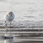 Drieteenstrandloper op het strand van Düne