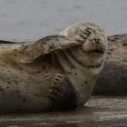 Slapende zeehonden op Helgoland