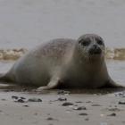 Jonge zeehond op Helgoland