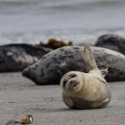 Jonge zeehonden op Helgoland