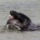Spelende zeehonden in de Noordzee bij Helgoland