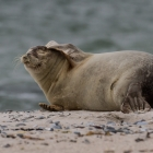 Seal on the beach at Dune, Helgoland