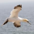 Vliegende Jan-van-gent op Helgoland