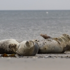 Four happy seals sleeping on the beach at Dune, Helgoland