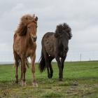 ijsland-paarden-9211