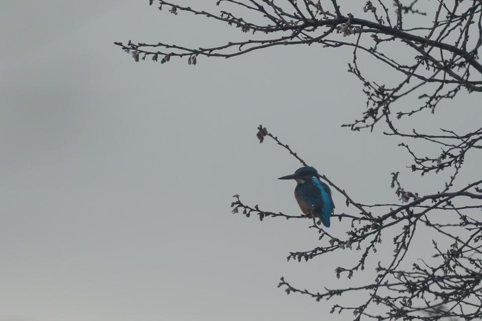 IJsvogel in Abcoude