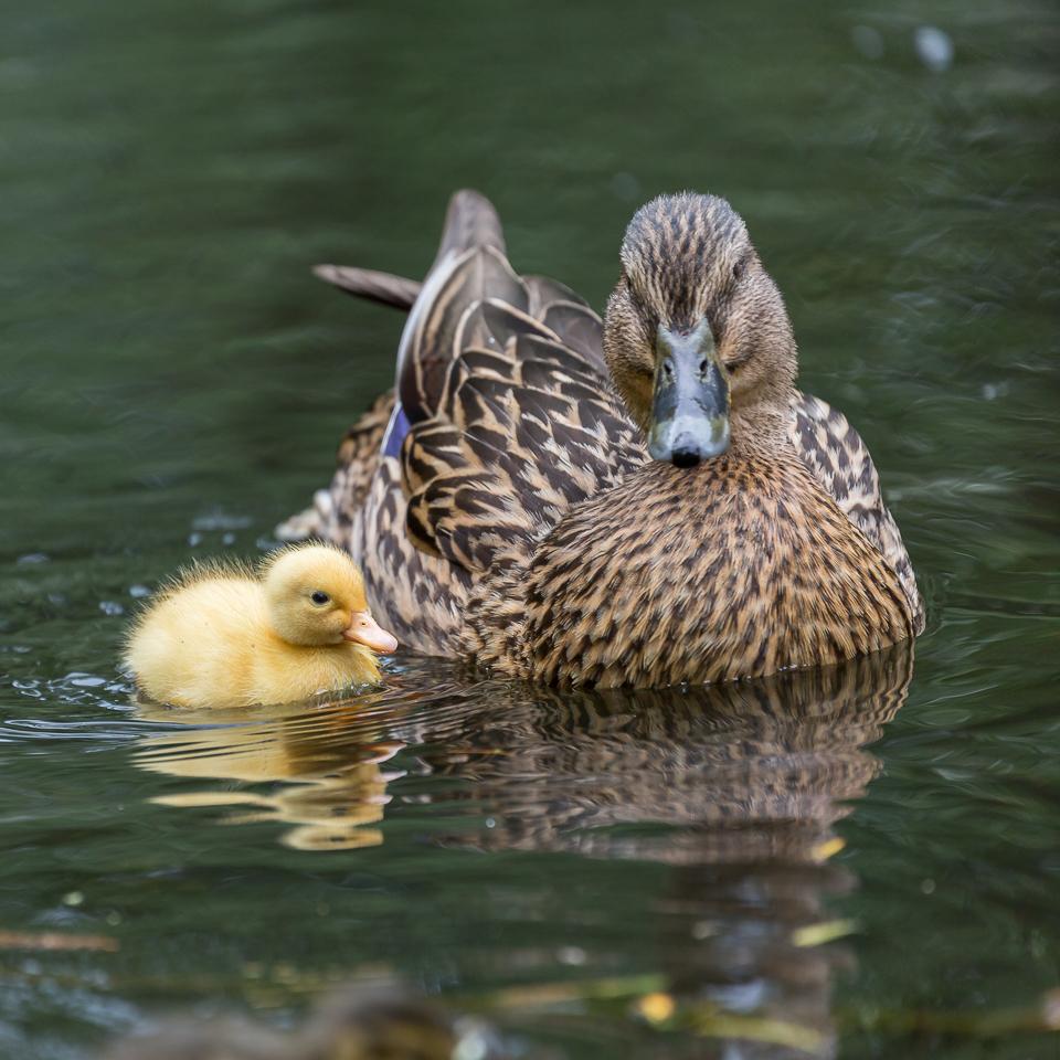 Moedereend met duckie