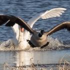 Ruzie tussen zwaan en Canadese gans