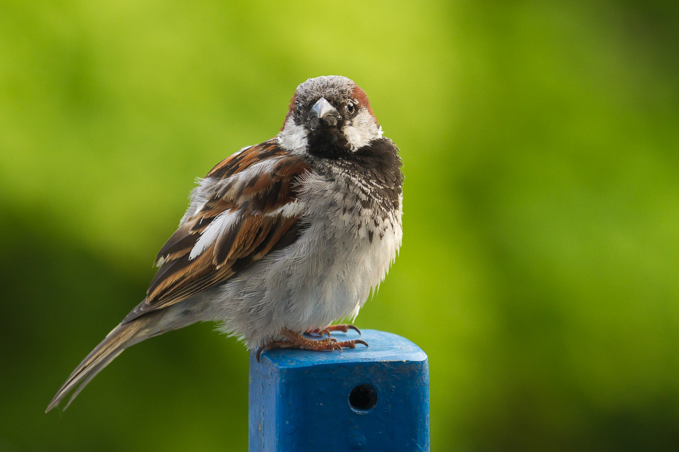 Sparrow looking to build its nest , preferably on my balcony I fear. Could just take a picture through my - pretty dirty- window