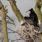 Aalscholver op nest in het Naardermeer