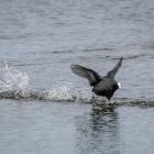Opvliegende meerkoet