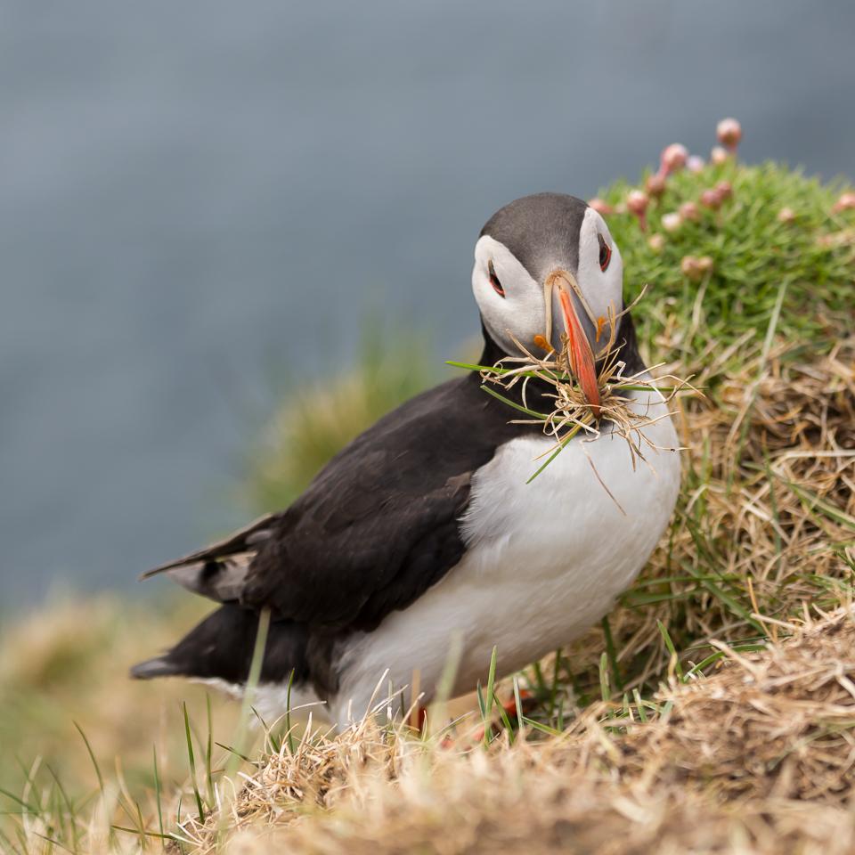 Papegaaiduiker bouwt nest