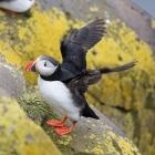 Papegaaiduiker slaat zijn vleugels uit