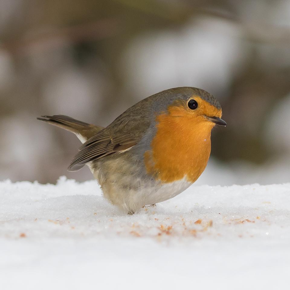 roodborst-in-de-sneeuw-0922
