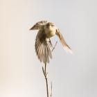 Vliegende Tjiftjaf