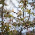 Tjiftjaf in de bloesemboom