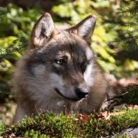 Rustende wolf in de schaduw van de bomen in het Bayerischer Wald