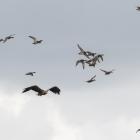 Vliegende Zeearend tussen opgeschrikte kleinere vogels