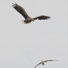 Vliegende Zeearend en meeuw in de Biesbosch