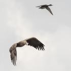 Vliegende Zeearend in de Biesbosch