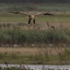 Landende Zeearend in de Biesbosch
