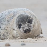 Zeehond op het Noordzeestrand van Düne