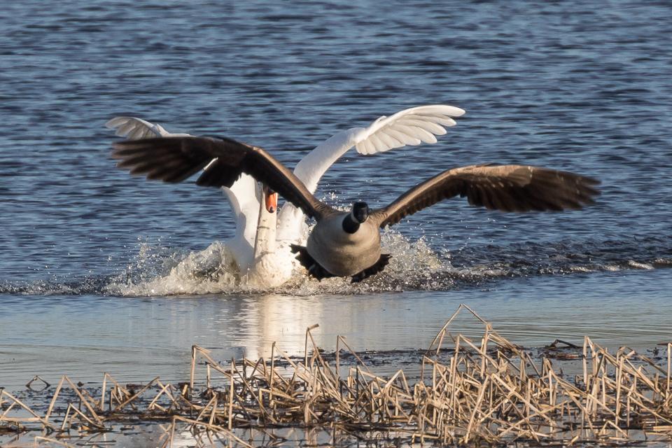 Ruzie tussen zwaan en Canadese gansop het Landje van Geijsel
