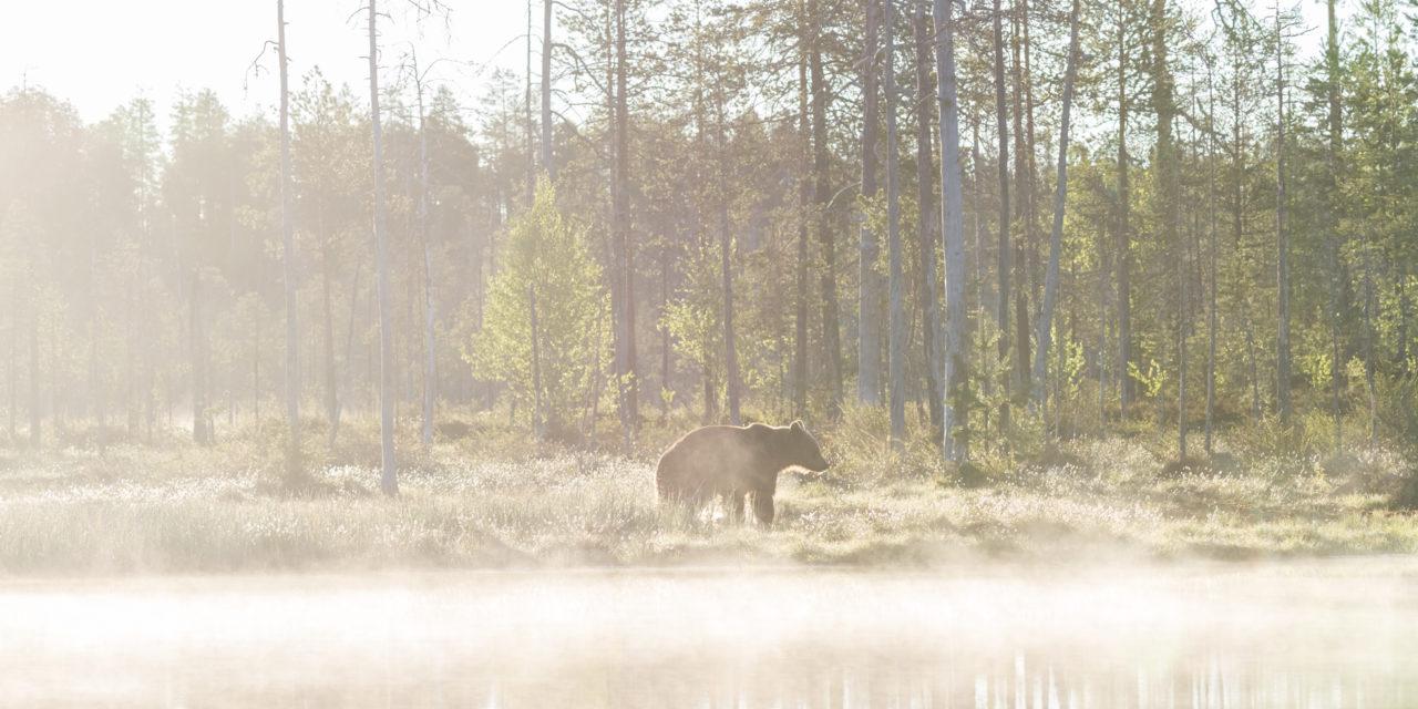 Bruine beer in de ochtendmist bij Kuhmo Filland - Big Brown Bear reservate