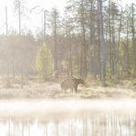 Beren Fotograferen in Finland