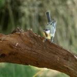 Zwartkopmees op tak - Vogelhut Kop van Deelen
