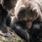 Twee jonge bruine beren in het natuurpark Bayerischer Wald