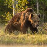 Finland - Bruine beren, bosnimfen & berken