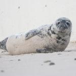 Zeehondenpups en Schapen op Helgoland & Düne